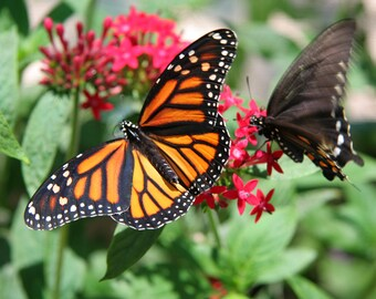 Butterflies on Flower 16, Child's Photo, 5x7 Photo, 8x10 Photo, Child's Decor