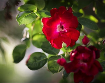 Wild Red Rose - Color Photo Print - Fine Art Nature Photography (R01)