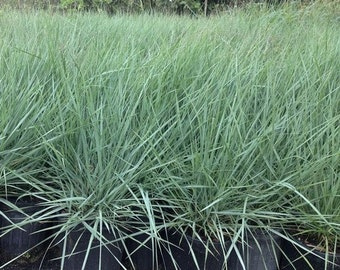 Love Grass Blue Ornamental Grass (Eragrostis elliotii Blue) 50+Seeds