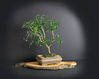 """Chinese Pepper bonsai tree, Rare Flora Collection"""" from LiveBonsaiTree"""
