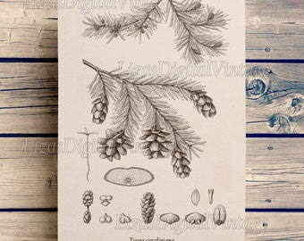 Antique art, Botanical print, Tree art, Vintage prints, Hemlock, Conifer print, Instant download art, Wall art, Printable art, JPG PNG #