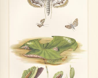 Vintage lithograph of brown china mark, grass moths from 1955