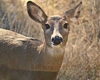 NOTE CARD, doe, deer, whitetail doe, cards, note cards deer decor, Ellen Strope, castteam, cabin decor, rustic decor, photos,photography