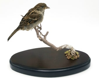 Real taxidermy house sparrow, taxidermy bird natural history