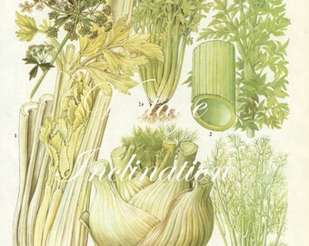 Vintage Vegetable CELERY FENNEL kitchen decor wall hanging botanical illustration vintage art print 149