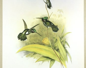 Hummingbird print, J Gould, Trochilidae, Small wild bird illustration, Wildlife, Ornithology, Exotic bird