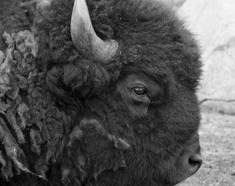 American Bison in Black & White | Photo Print
