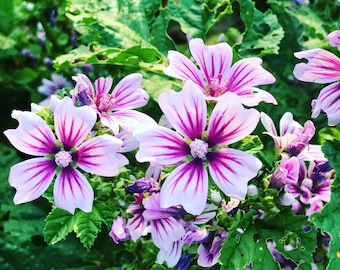 Malva sylvestris Zebrina Mallow Seeds Old Fashion Flower Cottage Garden Malva or Hollyhocks Perennial Flower Seeds Pollinator Garden Plant