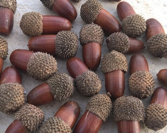 Wholesale 29 x Real Dried Acorns - For Rustic Weddings - For Christmas Decoration - Florist Supplies - Assorted Size - LARGE!