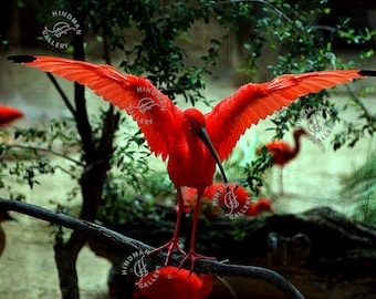 Scarlet Ibis Wingspan Exhibition - Red Tropical Bird with Long Beak - Photo Photography Picture Print