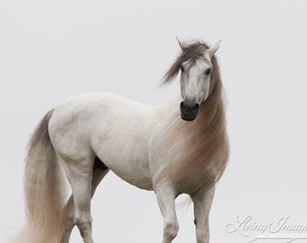 White Stallion Turns at Dawn - Fine Art Horse Photograph - Horse -Andalusian - Horse Art