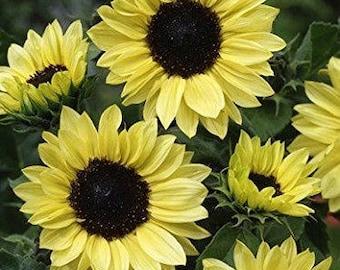 Sunflowers - Heirloom Sunflowers - Dwarf Sunflowers - David's Garden Seeds - Moonshine Dwarf Branching Sunflower Seeds