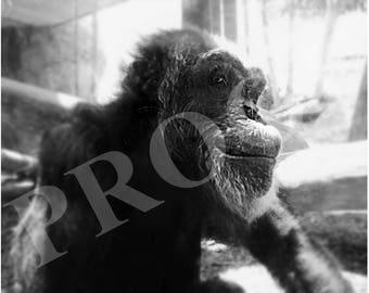 Smiling Chimp | Black & White