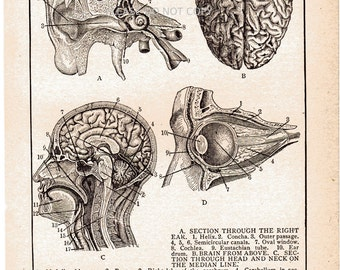 Vintage Anatomy Book Plate Early 1900s EAR BRAIN EYE Vintage Book Page Antique Human Body