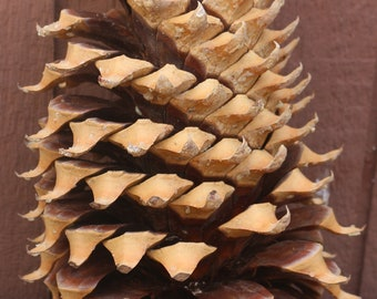 "13"" x 7""  Coulter Pine Cone (Widowmaker) 3 lbs. 1.9 oz."