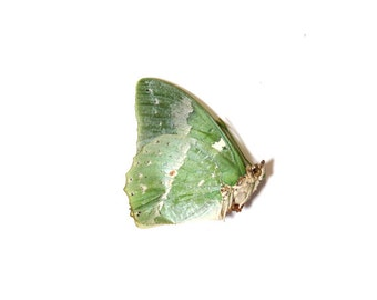 Ornate Green Charaxes (Charaxes subornatus) Dried Butterfly Specimen