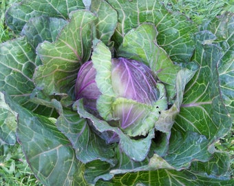 """VKCS)~""""DI VERONA"""" Savoy Cabbage~Seeds!~~~~~~Lovely~~~Delicious!!!"""