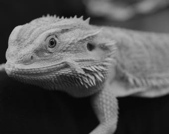 Black and White Bearded Dragon