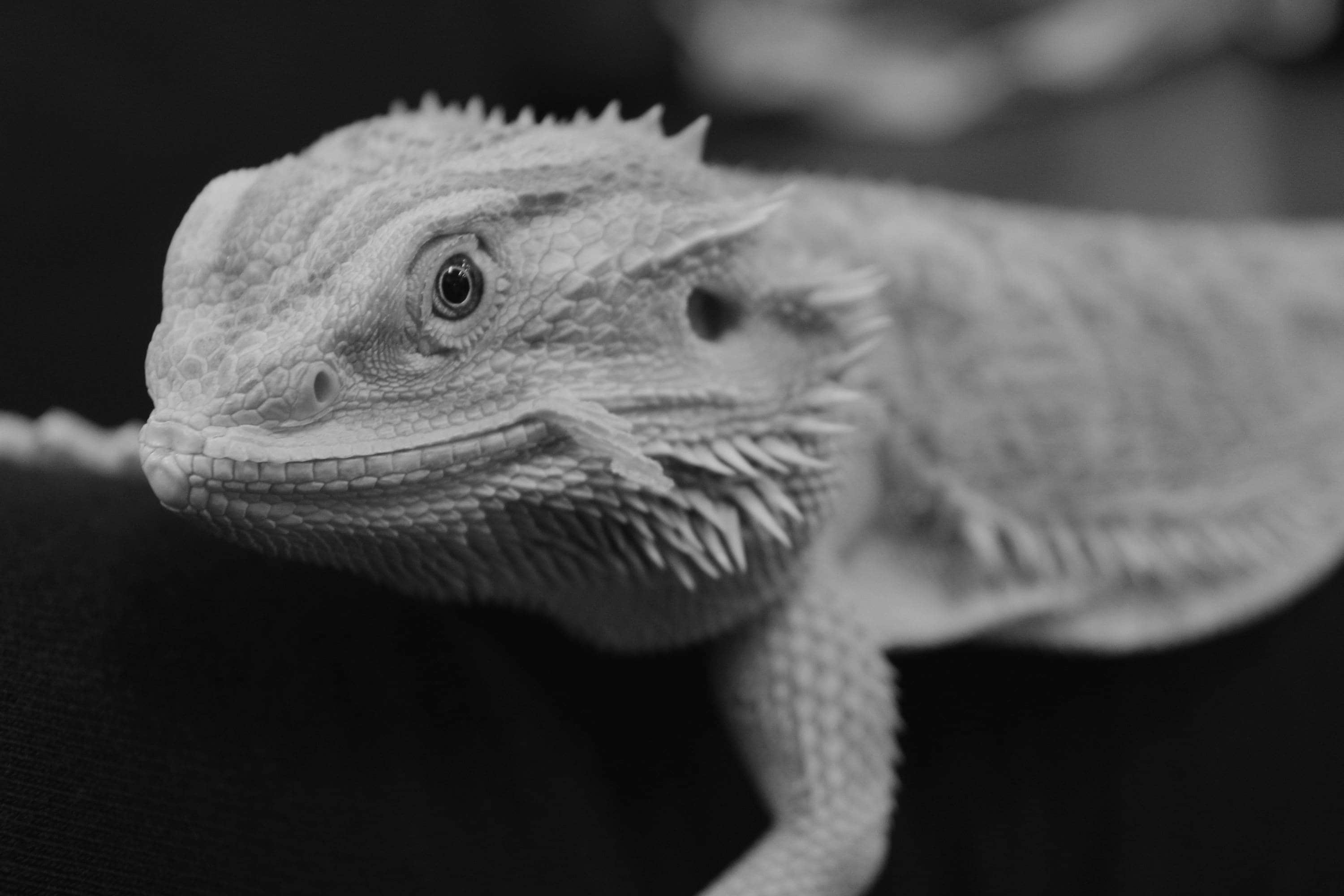 Black and white bearded dragon voltagebd Choice Image