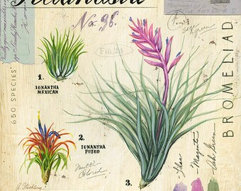 Air Plant Print, Botanical Print, Botanical Illustration, Floral Print, Floral Illustration