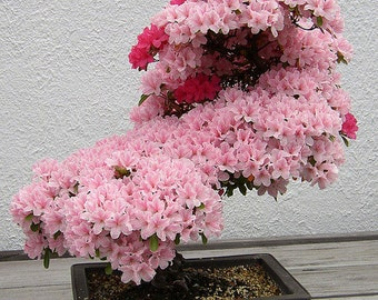 Prunus Serrulata Japanese Sakura Flowering Cherry Bonsai Tree 5 Seed