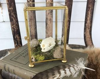 Mink Brass and Glass Terrarium . Curiosity Display . Naturalist Decor . Taxidermy