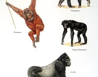 Orangutan, Chimpanzee, Gorilla, etc. Vintage 1984 Animal Book Plate