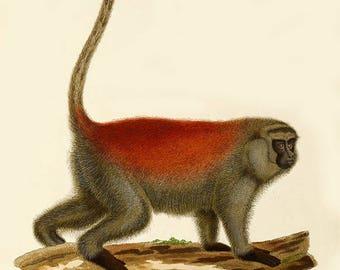 Monkey print-antique Callithrix monkey print-marmoset monkey-Monkey image-monkey wall decor-cabin vintage print-animal print, monkey M