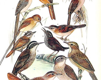 Rufous Hornero, Spinetail, Steamcreeper, Ant Bird, Ant Shrike, Ant Wren - 1973 Vintage Bird Print - 2 Sided Page from Bird Encyclopedia