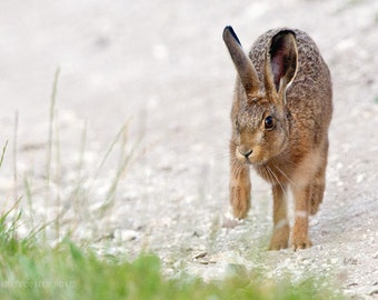 Brown Hare by Christopher Mills - A4, A3 or A2 Fine Art Photographic Prints | Nature Photography - Wildlife - Hares/Animals/British Wildlife