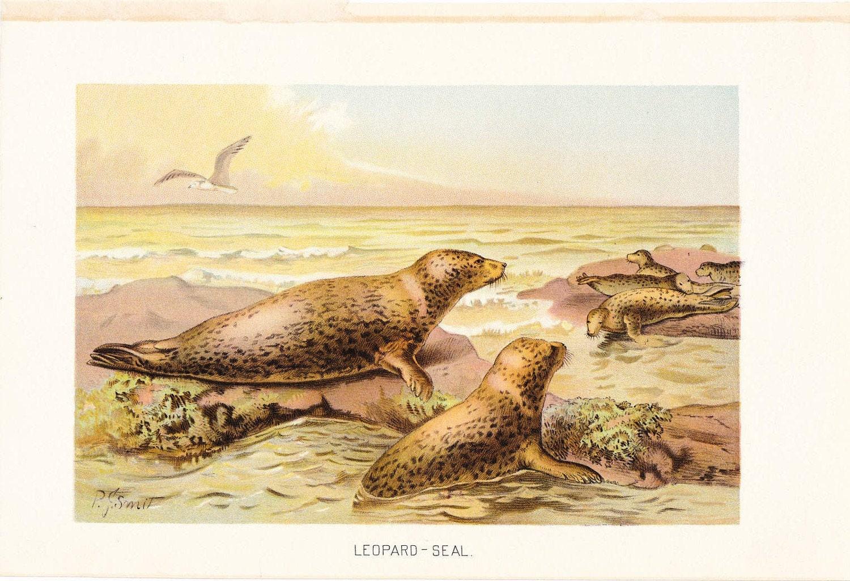 1901 Animal Print Leopard Seal Vintage Antique Book Plate