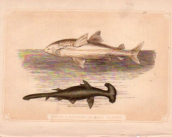 ANTIQUE BOOK PLATES, 2, Conger and Sand Eels, and the White and Hammer-headed Sharks, from Natural History Book, collected by junqueTrunque