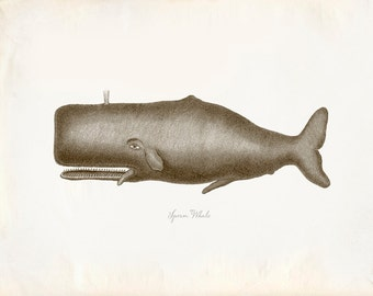 Vintage Sperm Whale Print 8x10 P224