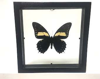 Menatius Eurotas Butterfly/Insect/Taxidermy/Lepidoptera