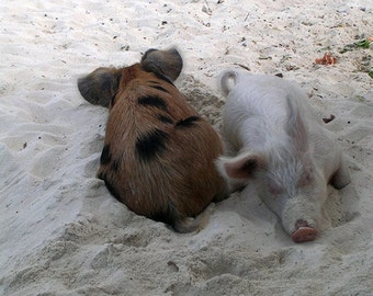Photography, Bahamas, Pigs, Snoozing Piglets on Beach, Big Majors Spot, Fine Art Print, Beige Tan Home Decor, 5x7, 8x10, 11x14, Wall Art
