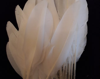 White Feathers pigeon Lovely natural moulted feathers white pigeon wing and a couple of tail feathers.