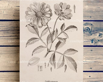 Dahlia print, Dahlia wall art, Botanical illustration, Dahlia clip art, Botanical printable, Dahlia flower, Printable art, A3 PNG JPG 300dpi