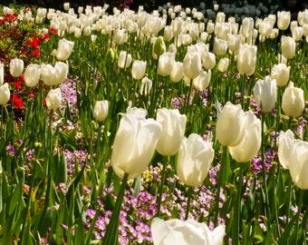 Tulips - Image 1954