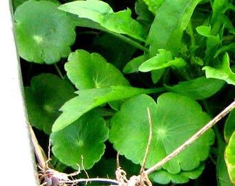 "LIVE 4 Live Gotu Kola (round-leaf) Plants, Pennywort Plant, Centella aka Centella Asiatica Live Plant fit 3"" pot"
