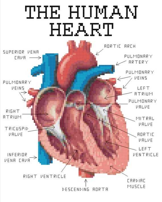 human heart anatomy cross stitch pattern heart diagram labeled live heart diagram #12