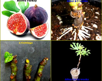 "Fig Tree Cuttings - ""BROWN TURKEY"" - Exotic Tree - 3 Cuttings"