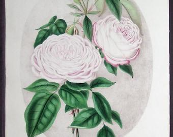 1800s Antique Vintage Flower Botanical Art print Original Pink Rose Pink Art print flower Illustration, 1850, Henry Curtis