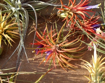 Air Plants WHOLESALE Mix of Five
