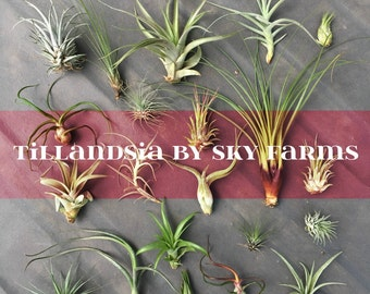 30 assorted Tillandsia air plants - FREE SHIP treasury wholesale bulk lot collection