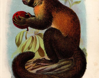 1897 Antique Monkey Print, Smooth-Headed Capuchin, Victorian Primate Chromolithograph Natural History Book Plate, by J G Keulemans