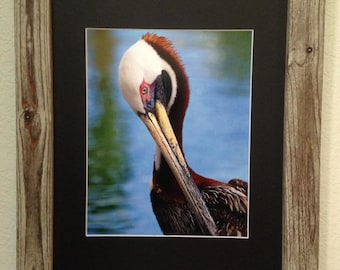 Brown Pelican with Mating Plumage at the Beach Framed Photograph