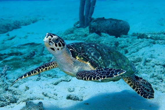 Sea Turtle Art Underwater Photography Print of Sea Turtle Modern Nautical Home Decor