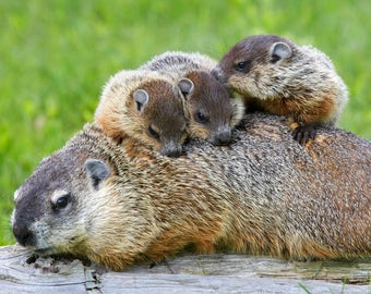 Groundhogs with Babies 8 x 10 / 8x10 GLOSSY Photo Picture
