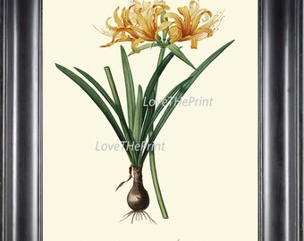 BOTANICAL PRINT Redoute Flower  Art 74 Beautiful Golden Yellow Amaryllis Plant Tropical Garden Nature Antique Writing Home Decor