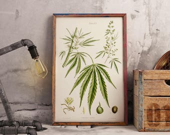 Cannabis Sativa - Vintage Botanical Herbal Educational botany chart diagram poster - old Hemp Hash poster - Home decor - retro art